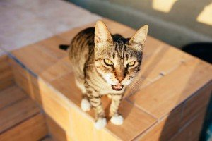 Cat Behavior: How To Deal With Calling, Meowing, And Howling