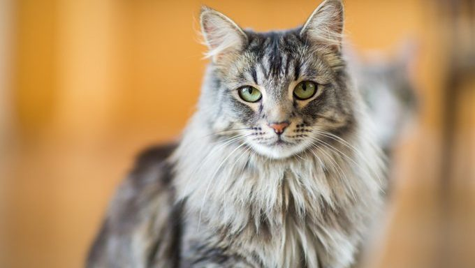 maine coon cat looking regal