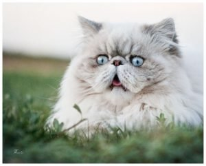 Best Persian Cat Names