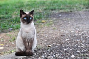 Best Siamese Cat Names