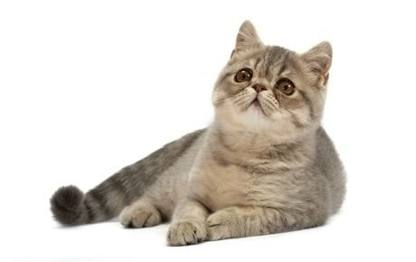 Exotic Cat Breed Information, Pictures, Characteristics & Facts