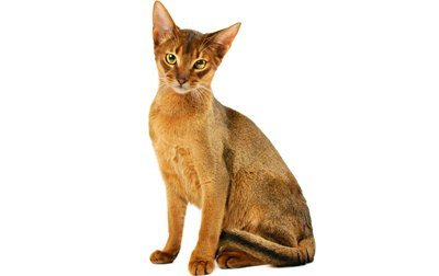 Abyssinian Cat Noises
