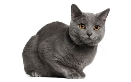 Chartreux Cat Breed Information Pictures Characteristics