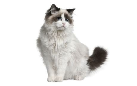 ragdoll cats cat breed information pictures characteristics and facts