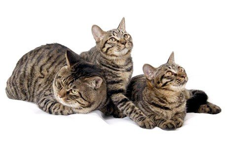 Chinese Li Hau Cat Breed Information, Pictures, Characteristics ...
