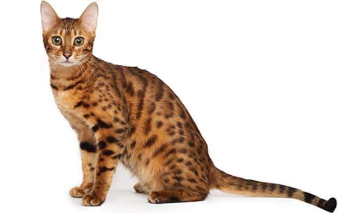 10-bengal-cat-breed-picture