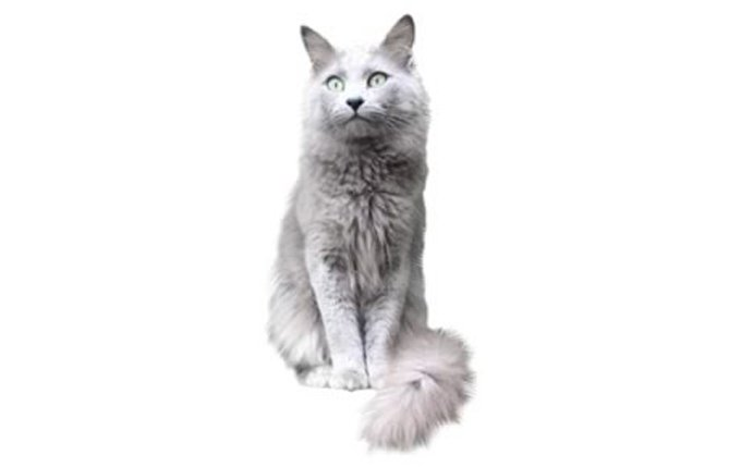 17-nebelung-cat-breed
