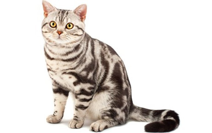 5-American-Shorthair-cat