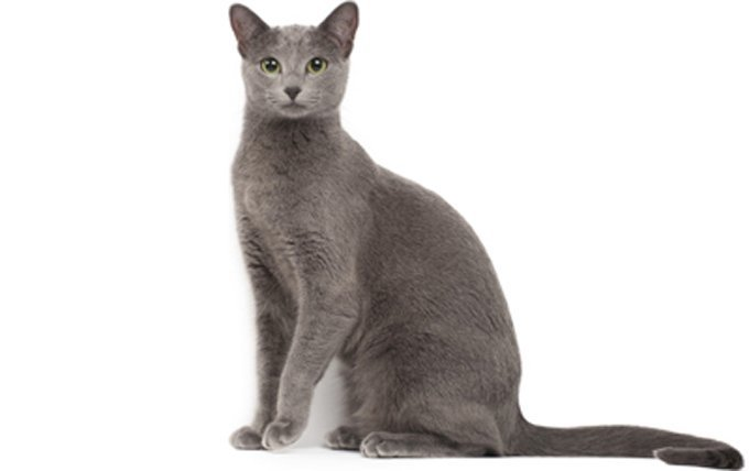 9-Russian-Blue-cat-breed