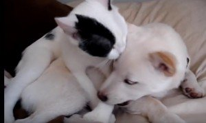 Cat Gives Shiba Inu Dog A Bath [VIDEO]
