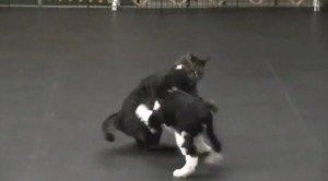 Cat vs. Springer Puppy [VIDEO]
