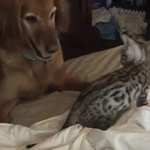 CatTime video of the week: Bengal kitten & Retriever