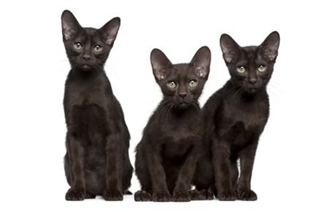 5-Havana-Brown-Cats