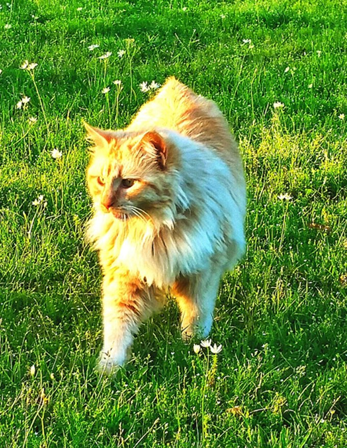 Full Length Of American Bobtail Cat Walking On Grass