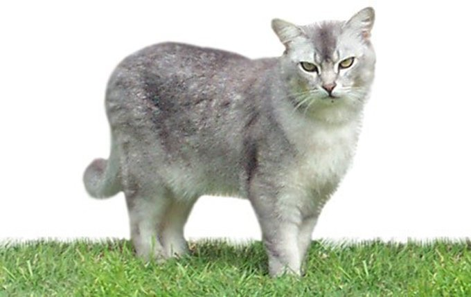 burmilla-cat-breed