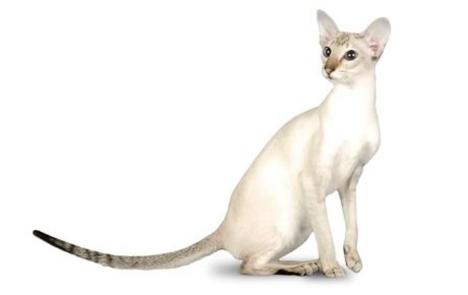 colorpoint-shorthair-cat-breed