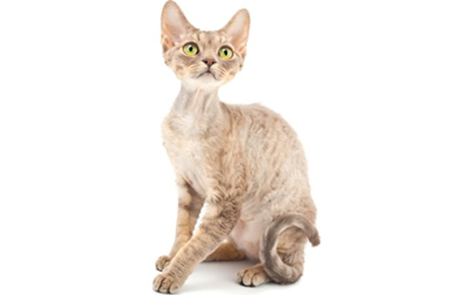 devon-rex-cat-breed-profile