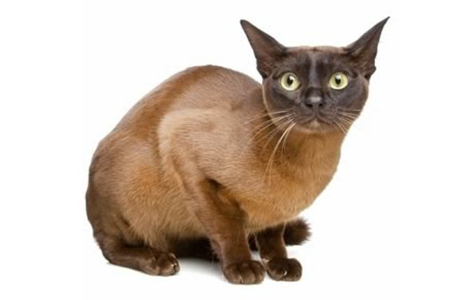 european-burmese-cat