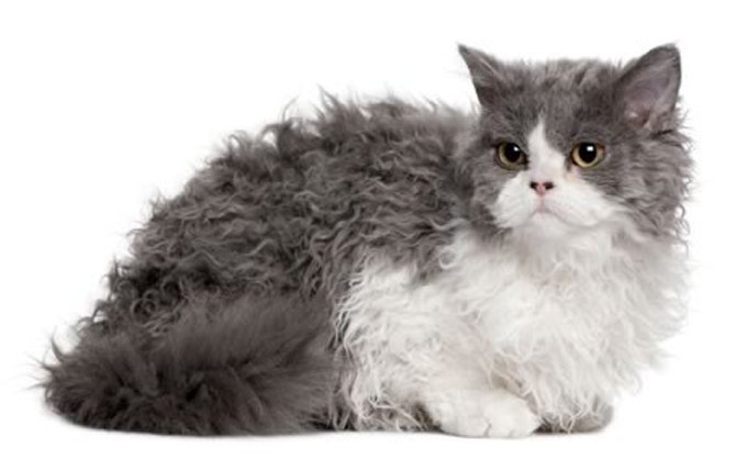 selkirk-rex-cat-breed