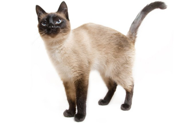 Top 14 Most Playful Cat Breeds - CatTime