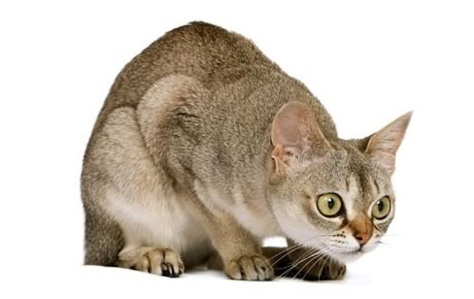 singapura-cat-breed