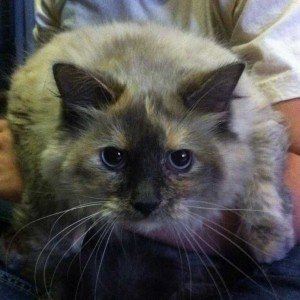 Blue and Bella: Two large cats left at Kansas City shelter