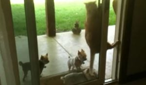 Cat Opens Door For Puppies [VIDEO]