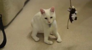 Cat Born Without Leg Bones Walks On Elbows