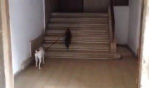 Cat Takes His Dog For A Walk [VIDEO]