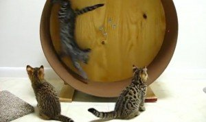 Savannah Kittens Play On The Wheel [VIDEO]