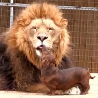 Lion befriends Dachshund pups