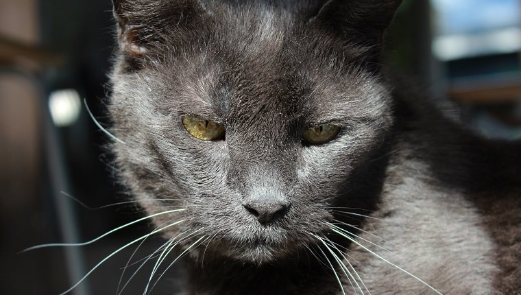very old and wise looking grey cat
