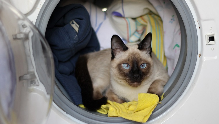 Thai cat climbed into a washing machine and lies there