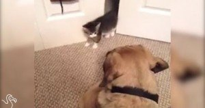 Tiny Kittens Messing With Big Dogs