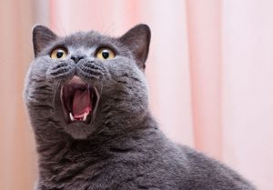 Cat Scratch Fever: It's Not Just A Song