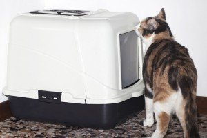 A Surprising Cause of Litter Box Aversion In Cats: Hip Dysplasia