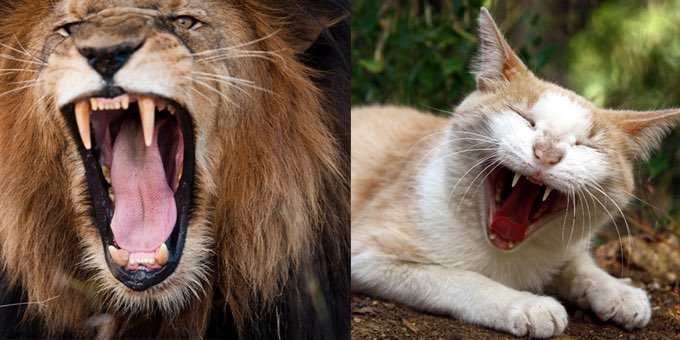 purrs vs roars the secret reason why cats who purr can never roar