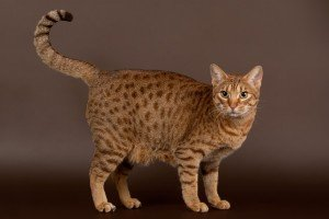 Meet the Ocicat: The Cat That Thinks It's a Dog!