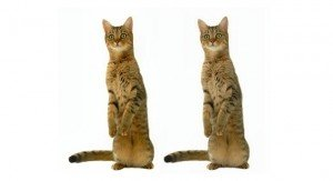 The Surprising Reason Why Cloned Cats May Not Be Identical