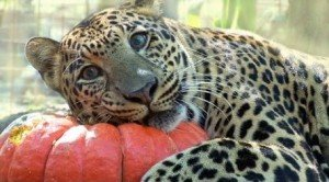 Big Cats And Halloween [VIDEO]