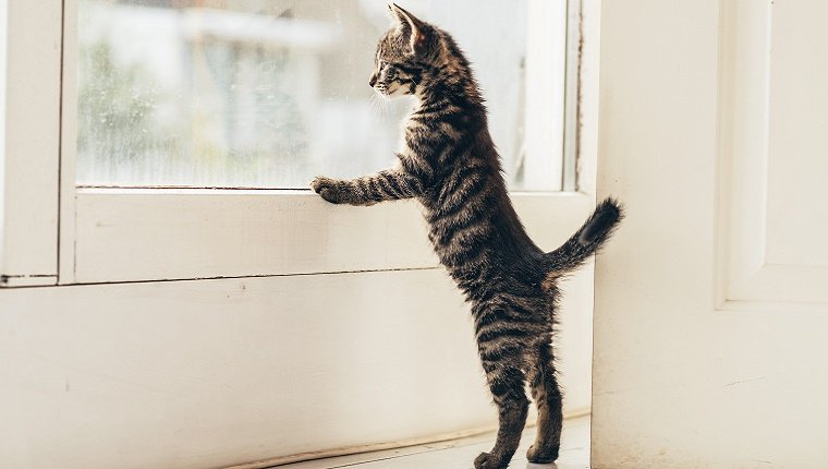 A small cat stands looking out the window with its front paws on the window sill.