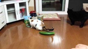 Cucumbers Scaring Cats Is The New Internet Thing [VIDEO]
