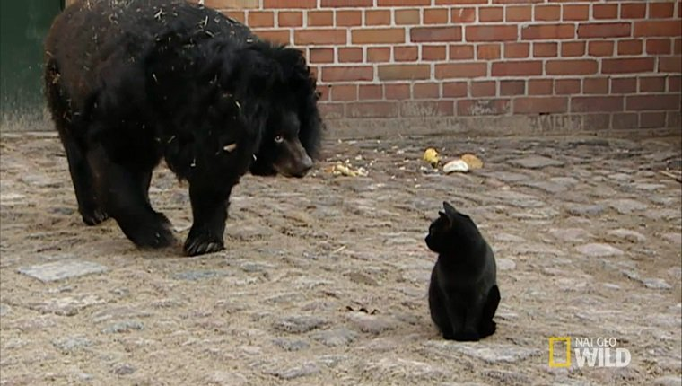 A large bear approaches a small black cat in a zoo enclosure.