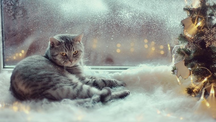 A grey cat sits in front of a frosted window next to a Christmas decoration with fake, cotton snow around it.