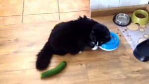 Scaring Cats With Cucumbers Is NOT Okay