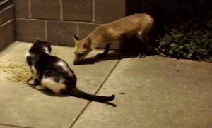 Heart-Stopping Video Of A Feral Cat's Encounter With A Wild Fox