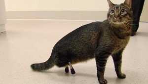 Vincent The Cat Gets Rare Prosthetic Leg Impants