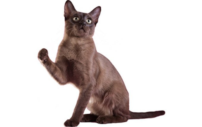 Tonkinese-cat-breed