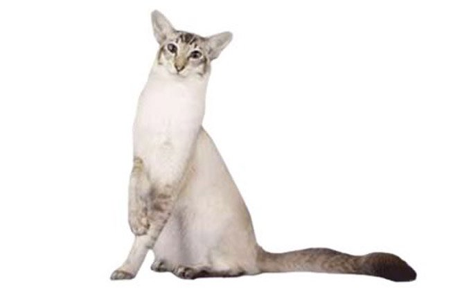 javanese-cat-breed