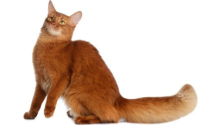 Orange Turkish Angora Top 17 Least Shedding ...